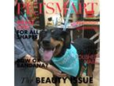 Adopt Sheba a Black - with Tan, Yellow or Fawn Doberman Pinscher / Rottweiler /