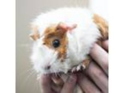Adopt Rizzoli a Guinea Pig small animal in Middletown, RI (25820525)