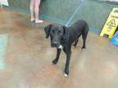 Adopt TOLSTOY a Black - with White Plott Hound / Labrador Retriever / Mixed dog
