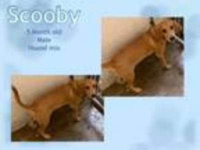 Adopt Scooby a Terrier
