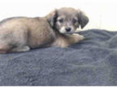 Adopt MAMIE LOU a Brown/Chocolate Terrier (Unknown Type, Medium) / Mixed dog in