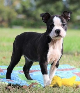 AKC Boston Terrier Puppies, 1 boy left, Jimbo!