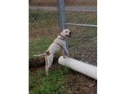 Adopt Ross a White - with Black American Staffordshire Terrier / Mixed dog in