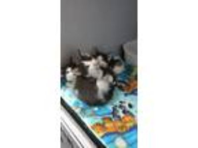 Adopt 3 kittens - GENDERS UNKNOWN a Tuxedo