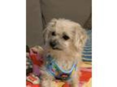 Adopt Cupcake a Yorkshire Terrier, Poodle