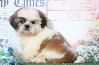 Shih Tzu PUPPY FOR SALE ADN-95856 - Ernie Precious Male ShihTzu Puppy