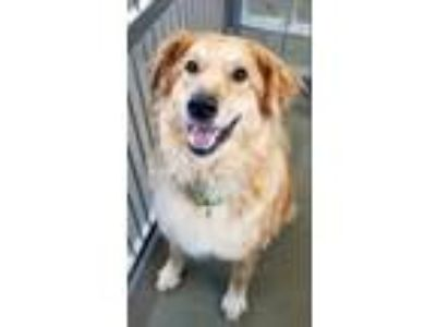 Adopt Noodle a Golden Retriever / Mixed dog in Pittsburgh, PA (25633079)