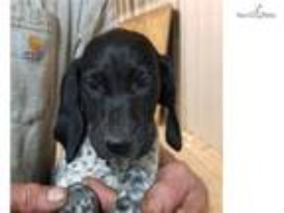 Black Roan & patched female gsp puppy