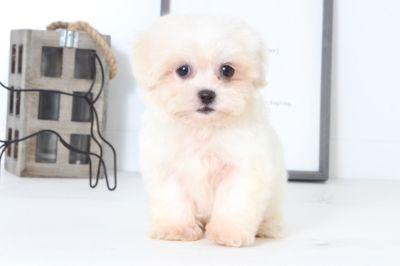 Zuchon PUPPY FOR SALE ADN-99516 - Joshua Male Teddy Bear Puppy