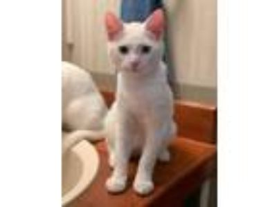 Adopt Timmy a Domestic Short Hair