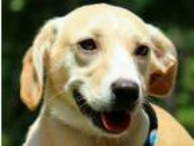 Adopt Tempura B Sweet girl! a Yellow Labrador Retriever
