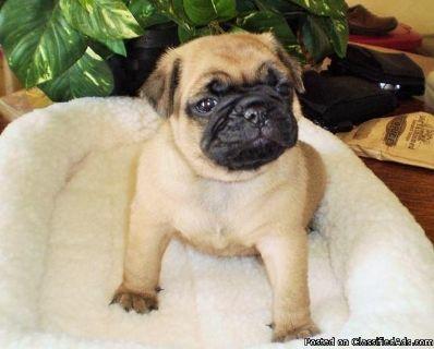 Eastpointe FGHA #! Pug Puppies