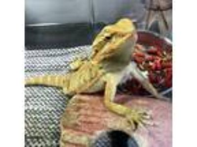 Adopt Zuma a Bearded Dragon