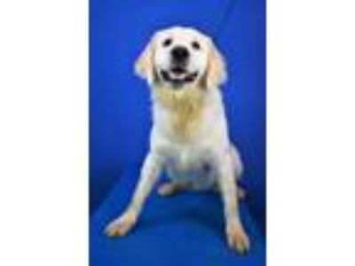 Adopt (found) Theodore a Tan/Yellow/Fawn Great Pyrenees / Mixed dog in Cabot