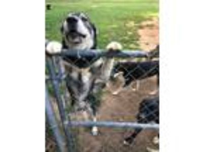 Adopt Max a Gray/Silver/Salt & Pepper - with White Husky dog in Greenville