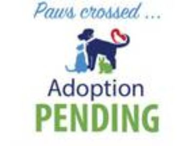 Adopt Wren a Labrador Retriever, Border Collie