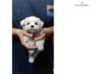 Adorable CH. Lines Male Maltese puppy