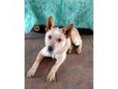 Adopt Pippy a Red/Golden/Orange/Chestnut Australian Cattle Dog / Mixed dog in