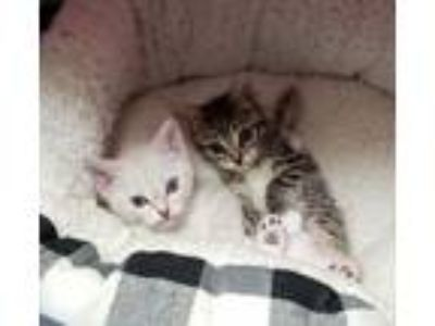 Adopt Bunches of Kittens a Domestic Short Hair