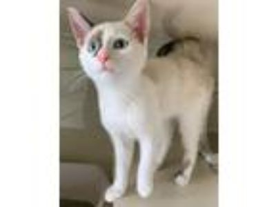 Adopt Rowan a Domestic Short Hair, Siamese