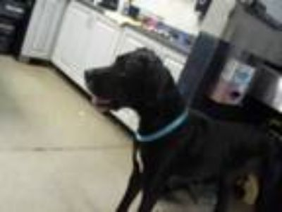 Adopt CINDER a Black - with White Great Dane / Mixed dog in Charlotte
