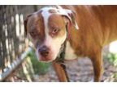 Adopt Tilly a Red/Golden/Orange/Chestnut American Pit Bull Terrier / Mixed dog