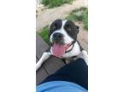 Adopt Sarah a Pit Bull Terrier / Mixed dog in Vineland, NJ (25203691)