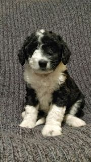 Unknown-Aussiedoodle Mix PUPPY FOR SALE ADN-80510 - Adorable Aussiedoodle puppies