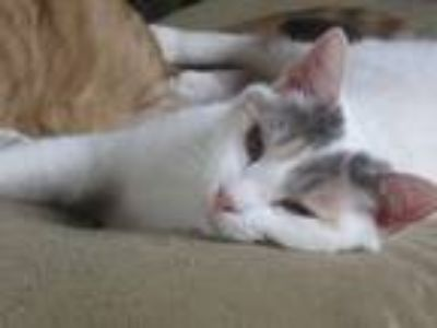 Adopt Fergie a White (Mostly) Domestic Shorthair (short coat) cat in Newtown