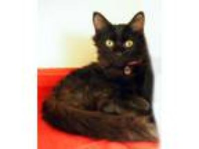Adopt Darcy a Domestic Medium Hair, Domestic Short Hair