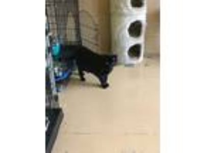 Adopt Nina a All Black Domestic Shorthair (short coat) cat in Goshen