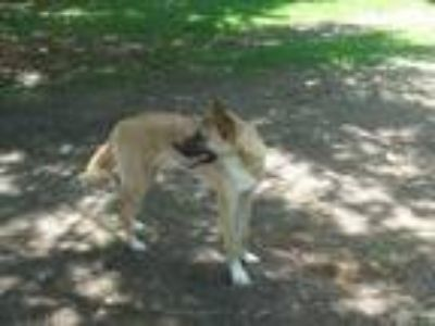 Adopt Jett a Tan/Yellow/Fawn - with White Akita / German Shepherd Dog / Mixed