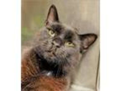 Adopt Jose' a Domestic Short Hair