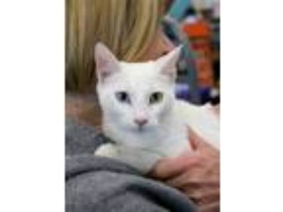 Adopt Zima & Cotton a White Siamese (short coat) cat in Studio City