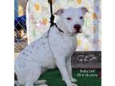 Adopt Polka Dot a White - with Brown or Chocolate Pit Bull Terrier / Mixed dog