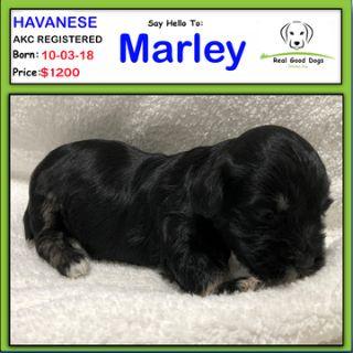 Havanese PUPPY FOR SALE ADN-102742 - Marley