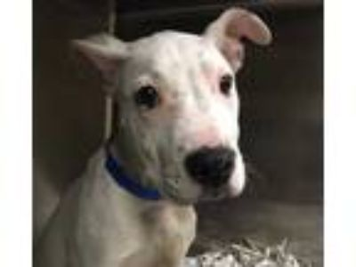 Adopt Kane a White American Staffordshire Terrier / Mixed dog in Houston