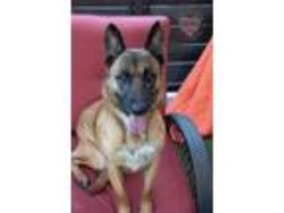 Adopt Lily a Red/Golden/Orange/Chestnut - with Black Belgian Malinois / Mixed