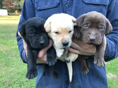 Labrador Retriever PUPPY FOR SALE ADN-104717 - Lab puppies