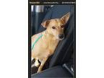 Adopt Lucy a Tan/Yellow/Fawn Hound (Unknown Type) dog in McMinnville