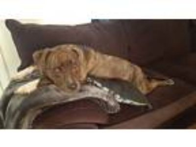 Adopt Dalia a Brindle - with White American Pit Bull Terrier / Mixed dog in
