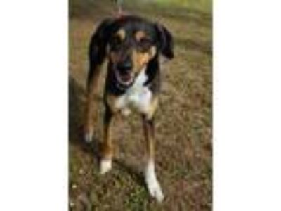 Adopt Dolly a Black German Shepherd Dog / Mixed dog in LaBelle, FL (24223498)