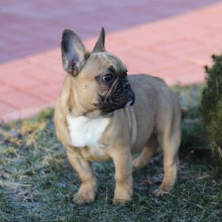 French Bulldog PUPPY FOR SALE ADN-103942 - Chewy
