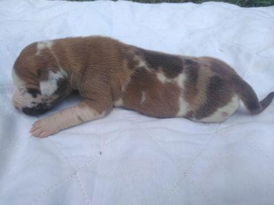 Great Dane PUPPY FOR SALE ADN-93318 - Fawnequin great Dane puppy