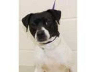 Adopt 29897 - Felicity a Rat Terrier / Mixed dog in Ellicott City, MD (25472590)