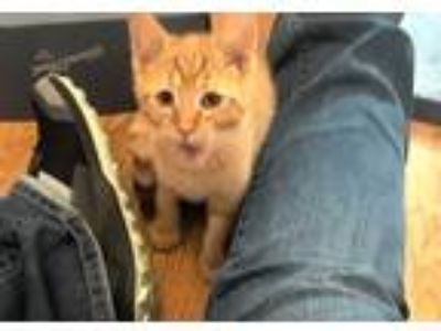 Adopt Gouda a Orange or Red Domestic Shorthair (short coat) cat in South Bend