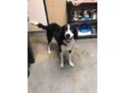 Adopt Reece a Border Collie, Spaniel