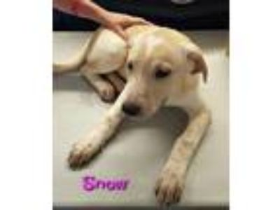 Adopt Snow a Great Pyrenees, Shepherd