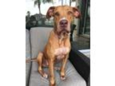 Adopt Hazel a Red/Golden/Orange/Chestnut Vizsla / Mixed dog in Miami