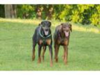 Adopt Summer a Doberman Pinscher